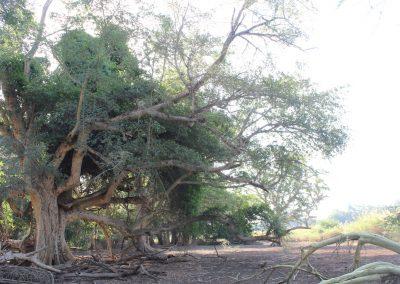 Shokwe Tree